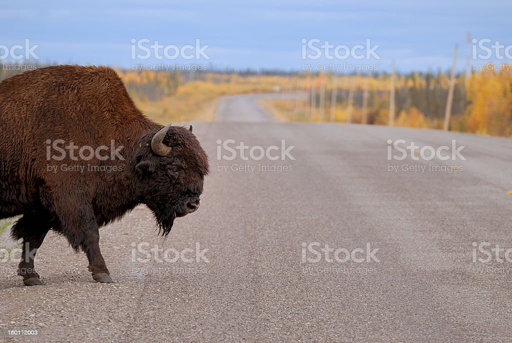 Bison Crossing stock photo