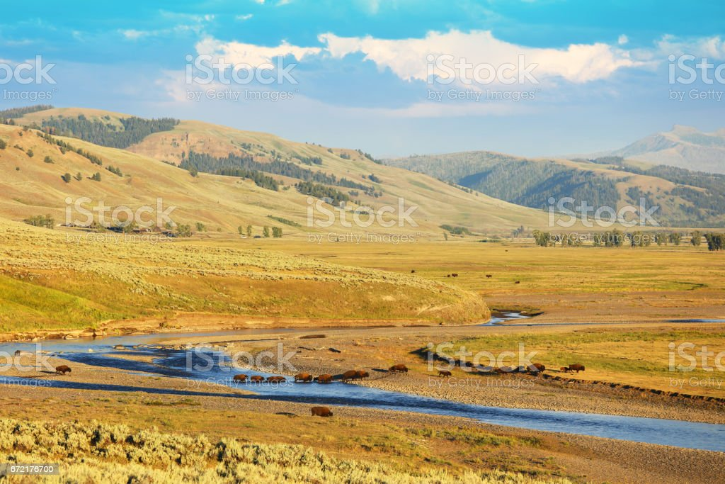 Bison Crossing the River at Lamar Valley in Yellowstone National Park stock photo