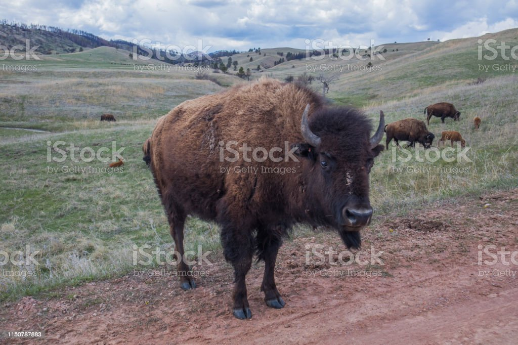 Bison, Custer State Park - Royalty-free American Bison Stock Photo