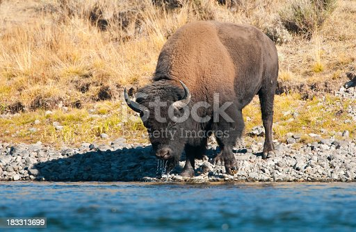 Bison Drinking Water from a River - Yellowstone National Park