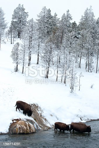American bison (Bison bison) crossing a river in Yellowstone National Park in winter, Wyoming, USA