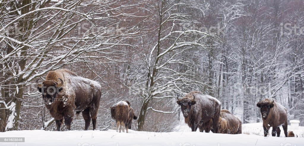 Bison family in winter day in the snow stock photo
