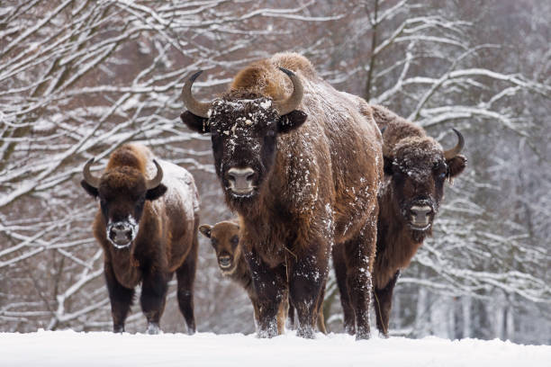 bison family in winter day in the snow - altai nature reserve стоковые фото и изображения