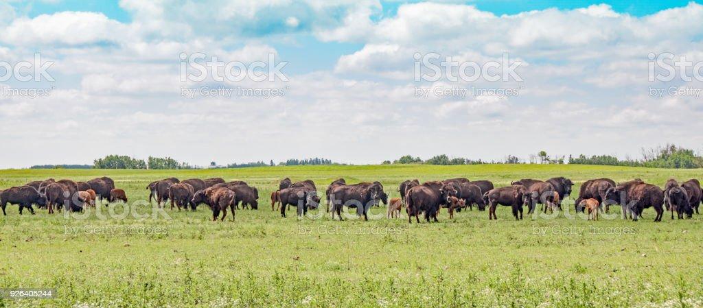 Ferme des bisons de veaux au milieu de l'été - Photo
