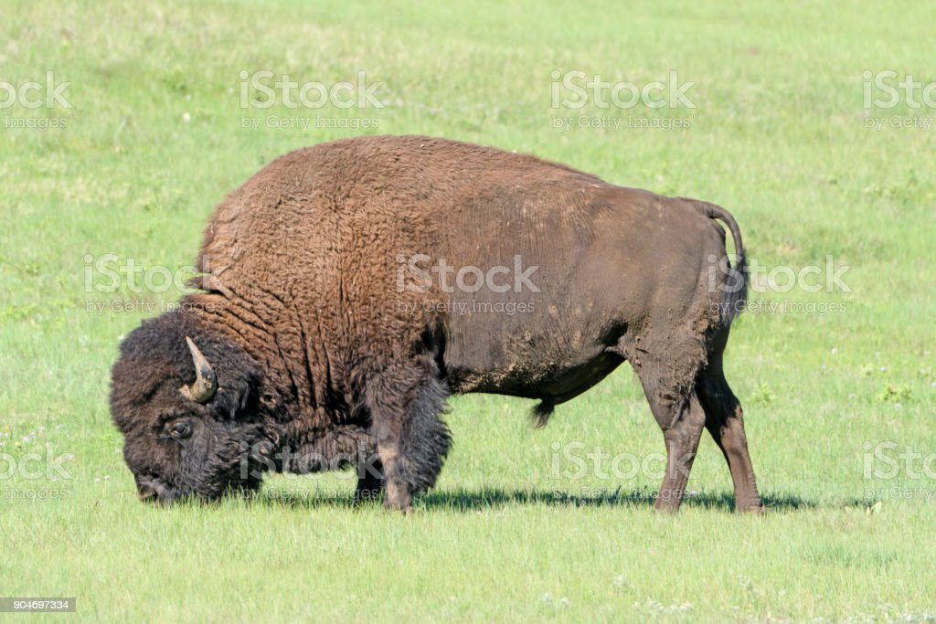 Bison Feeding in the Grasslands stock photo