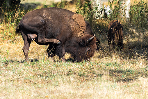 Bison Female Standing With Udder Showing Calf Nearby Stock Photo - Download Image Now - iStock