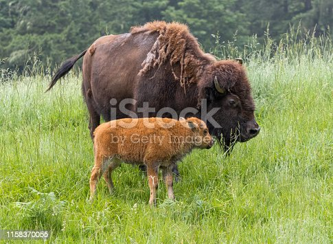 A Plains Bison with a very young calf.