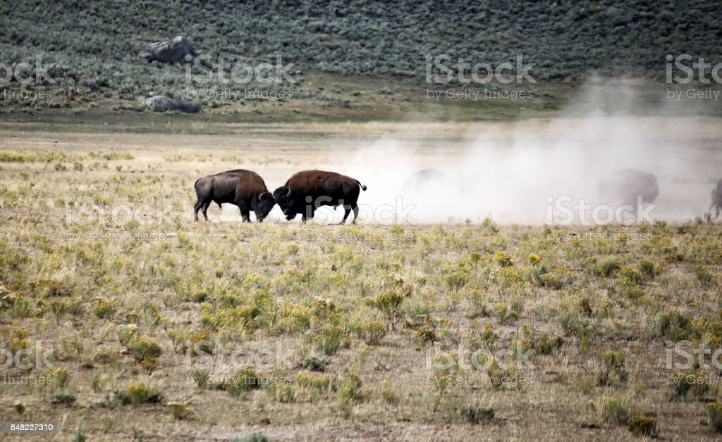 Bison Fight - Büffel Kampf stock photo