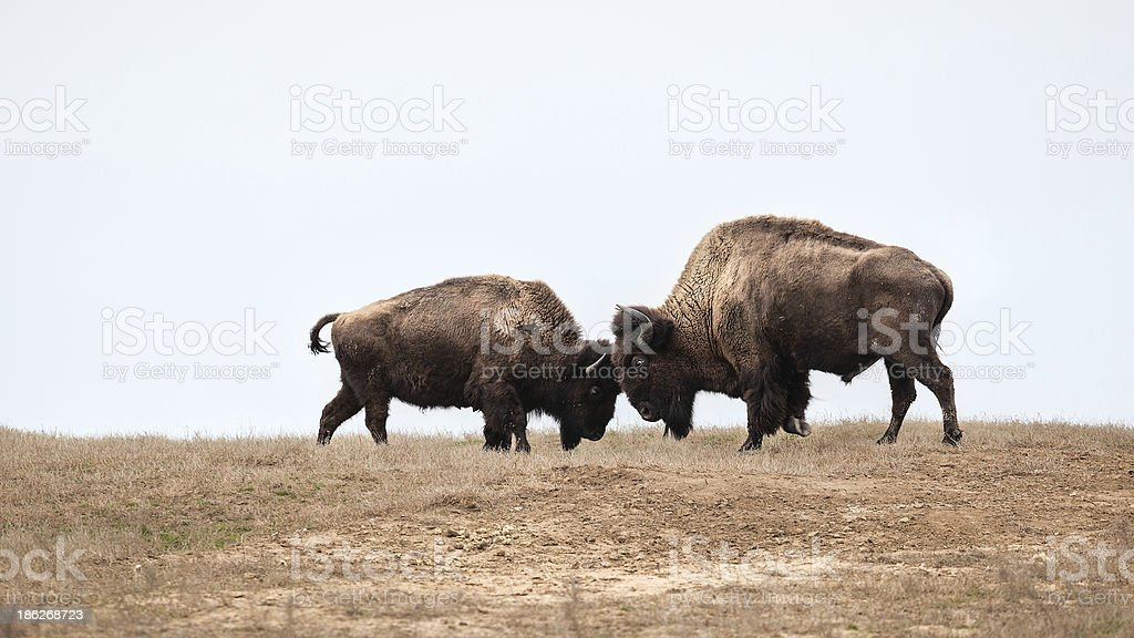 bison fight stock photo