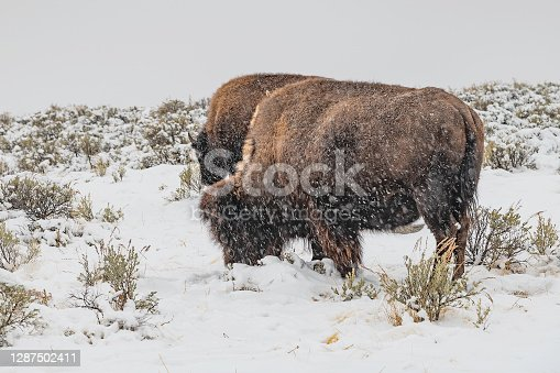 Bison grazing in snow covered prairie ground