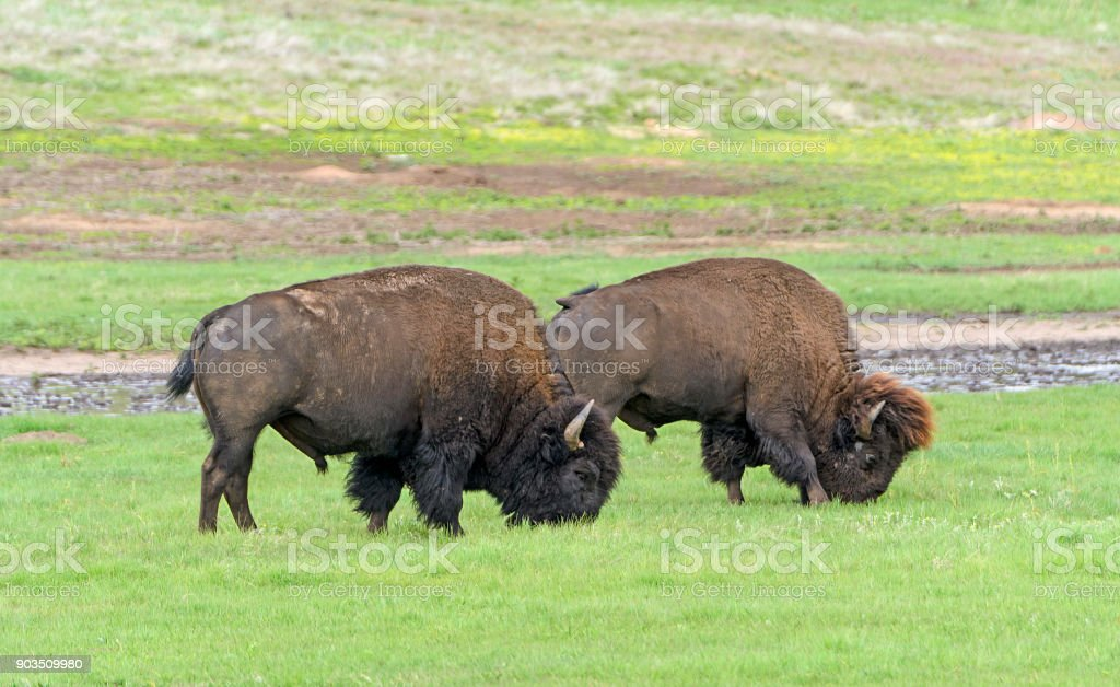 Bison Grazing in the Black Hills stock photo