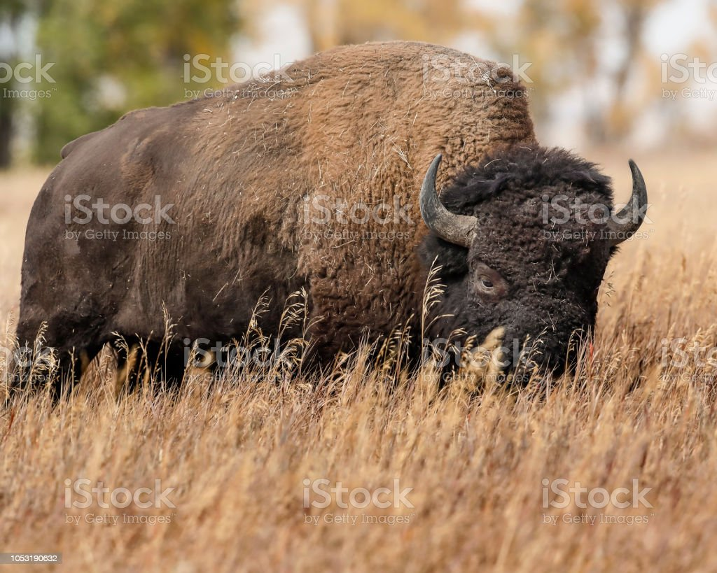 Bison grazing in the tall meadow grass stock photo