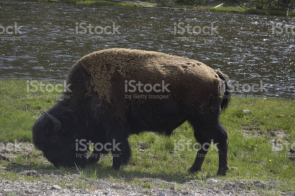 Bison Grazing royaltyfri bildbanksbilder