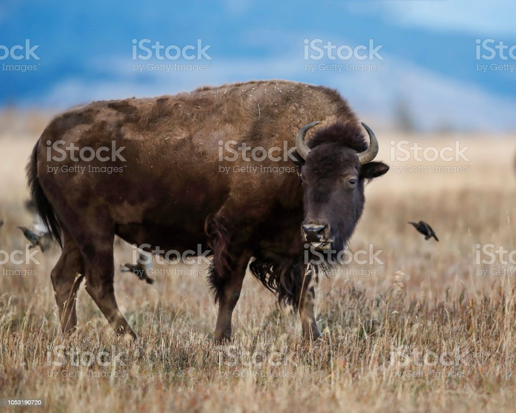 Bison has stirred up a feast of bugs for the birds to eat stock photo