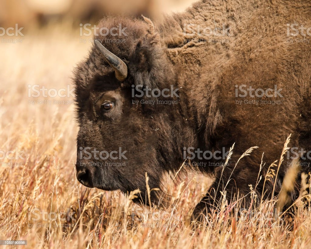 Bison head shot in the tall grass stock photo