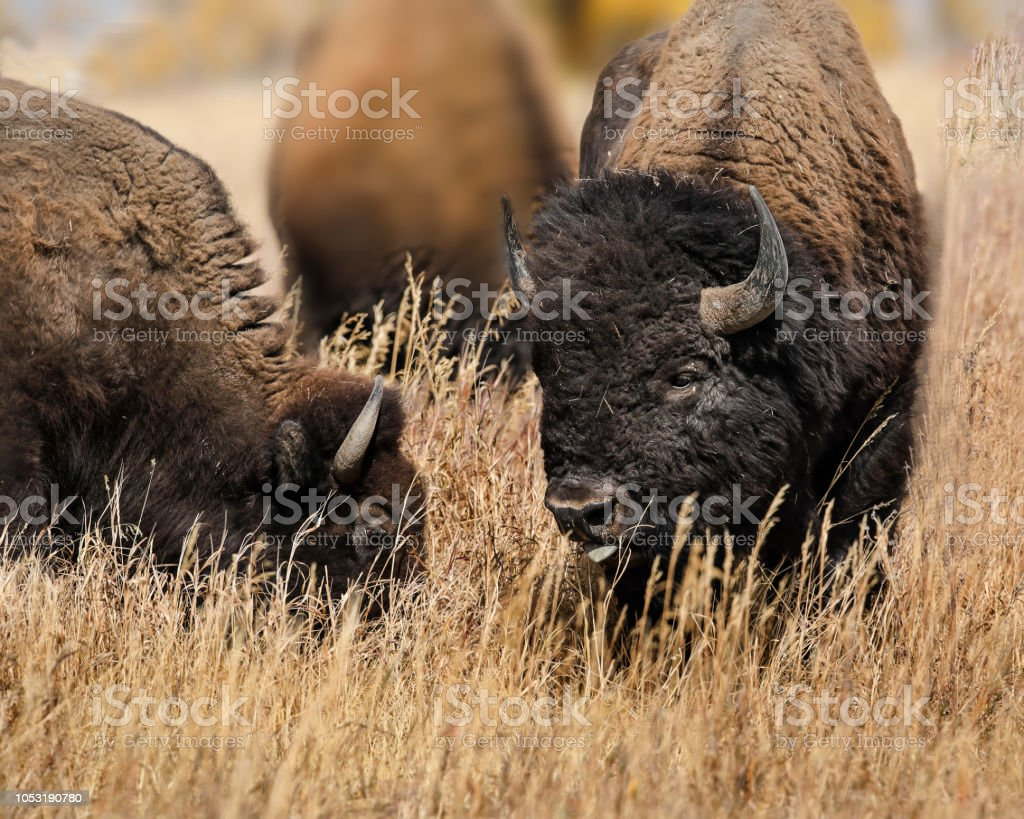 Bison heads together in the grass stock photo