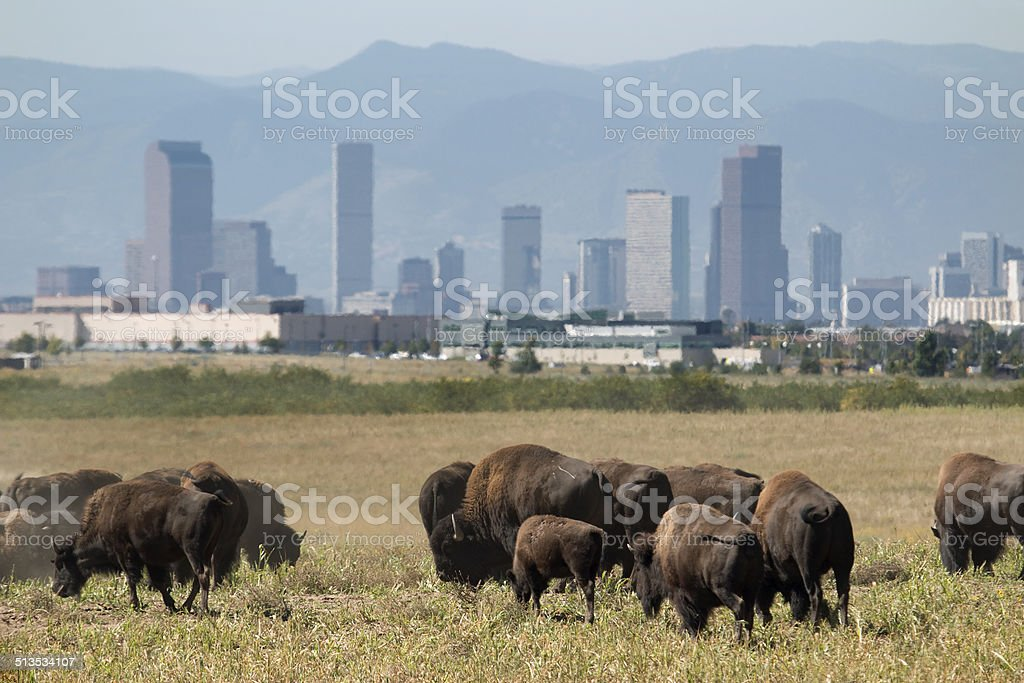 Bison herd and downtown Denver skyscrapers stock photo