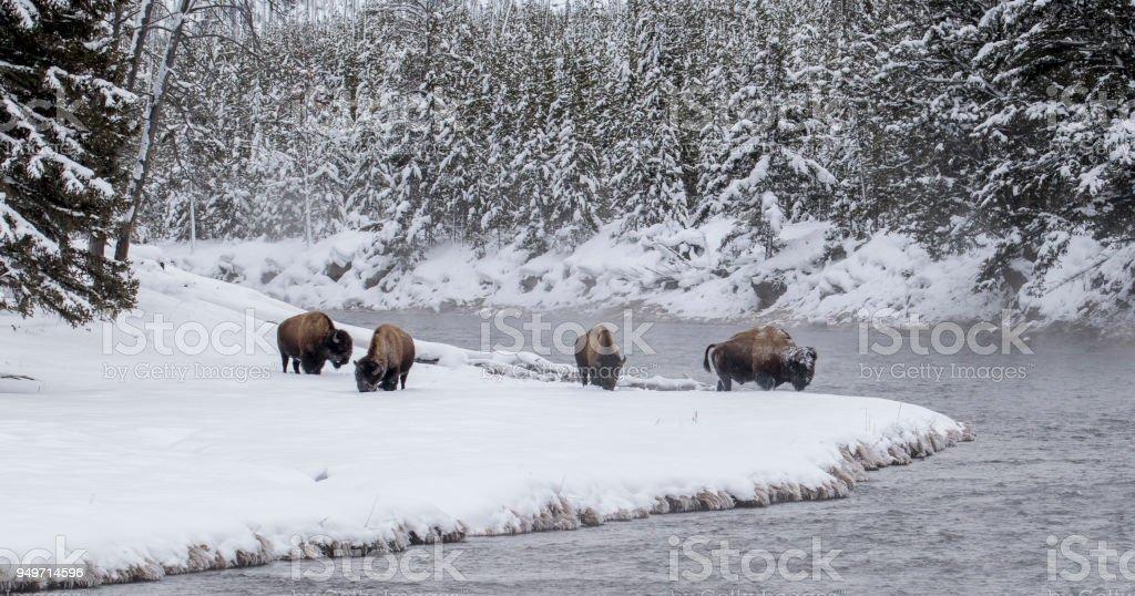 Bison-Herde an verschneiten Biegung in den bewaldeten Yellowstone river – Foto
