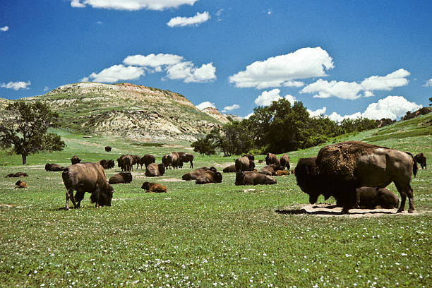 Bison Herd Feeding in a Meadow stock photo