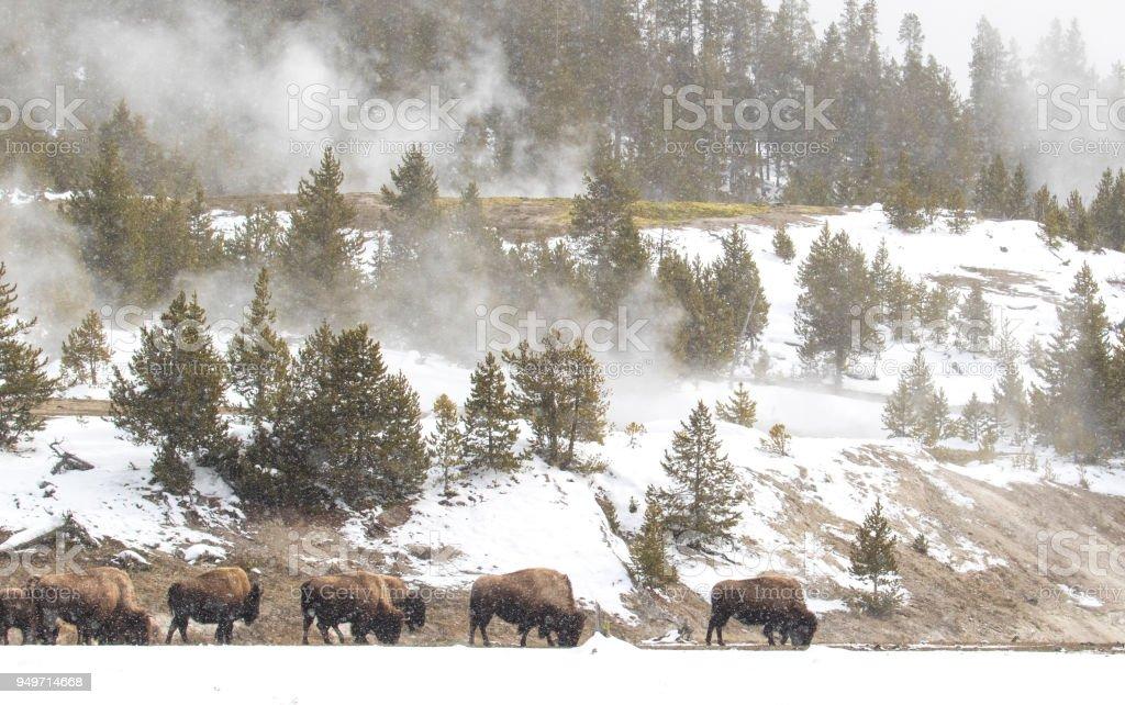 Bison Herde Fütterung in Dampf und Schnee Landschaft im yellowstone – Foto