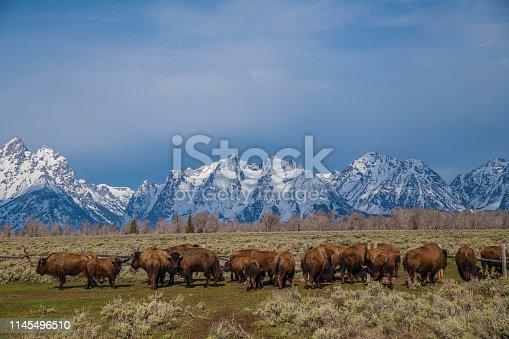 Bison herd under the Teton mountain range.
