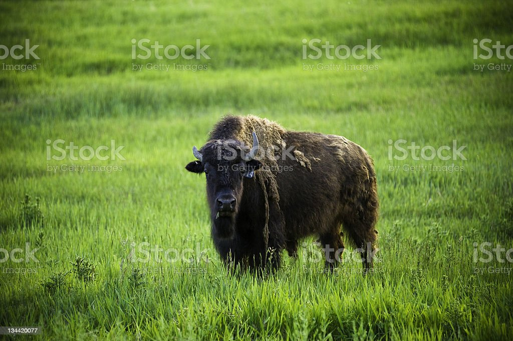 Bison Herd of Buffalo Grazing in Meadow royalty-free stock photo