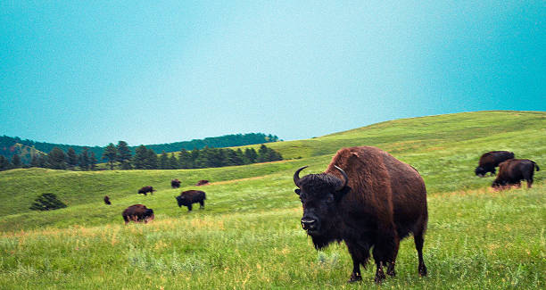 bison herd - great plains stock photos and pictures