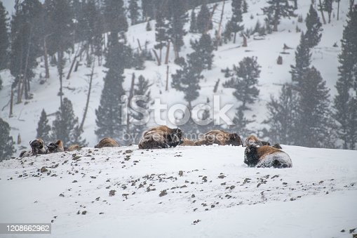 istock Bison herd resting on Yellowstone hilltop covered with snow 1208662962