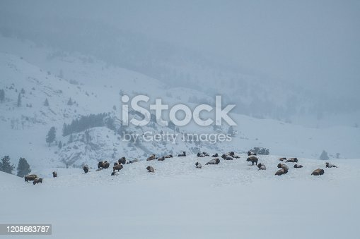 istock Bison herd resting on Yellowstone hilltop covered with snow 1208663787