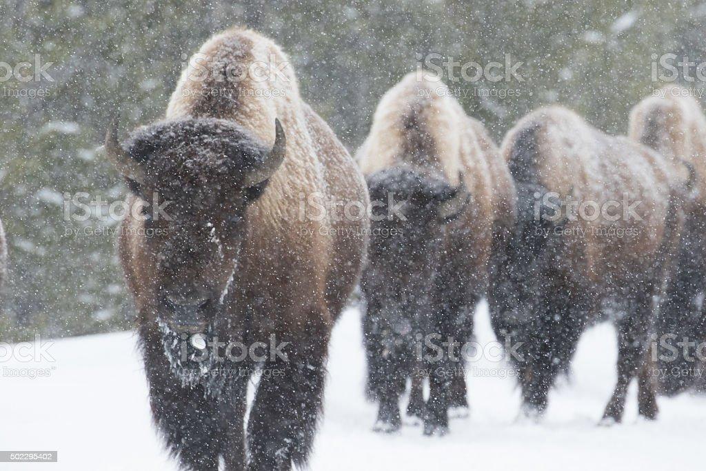 bison herd walking in snow stock photo