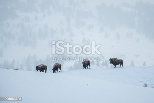 istock Bison herd walking on Yellowstone hilltop covered with snow 1208663723