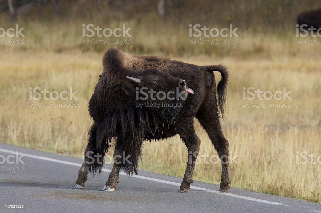 A bison crossing the road, sticking its tongue out. Photo taken at...