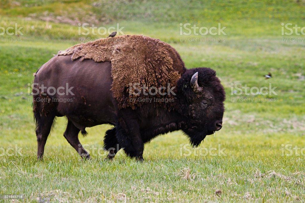 Bison III stock photo