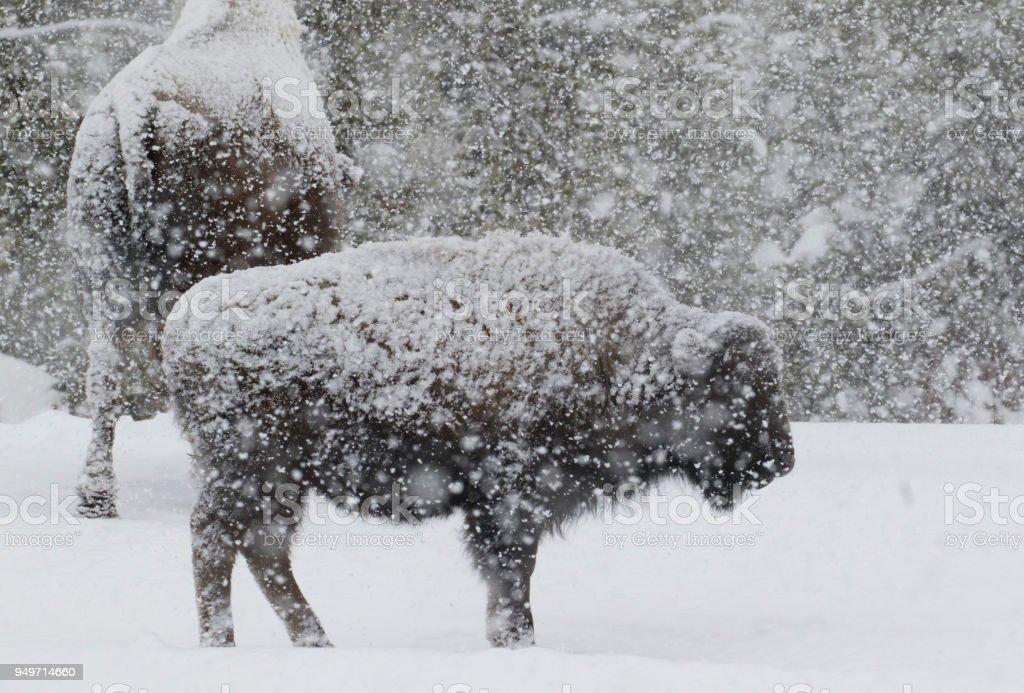 Bison in einem Schneesturm mit großen weichen Schneeflocken – Foto