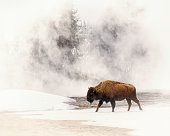 A Bison In a Field of Fog Near a Hot Spring in Yellowstone National Park