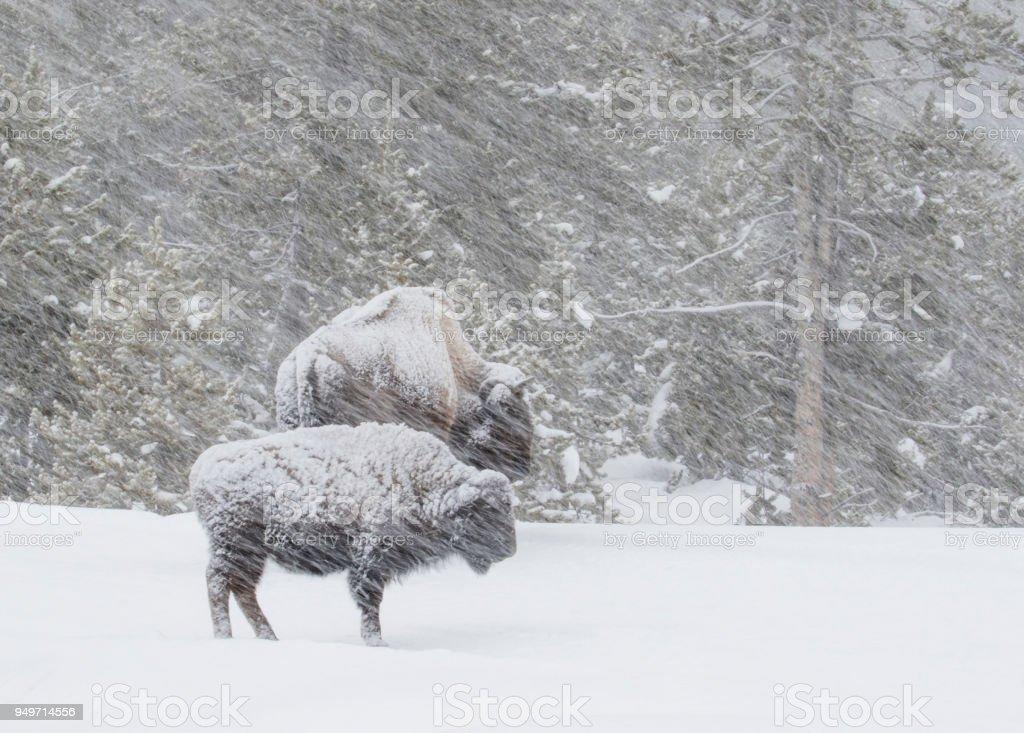 Bison in einem windigen Schneesturm in den Wald – Foto