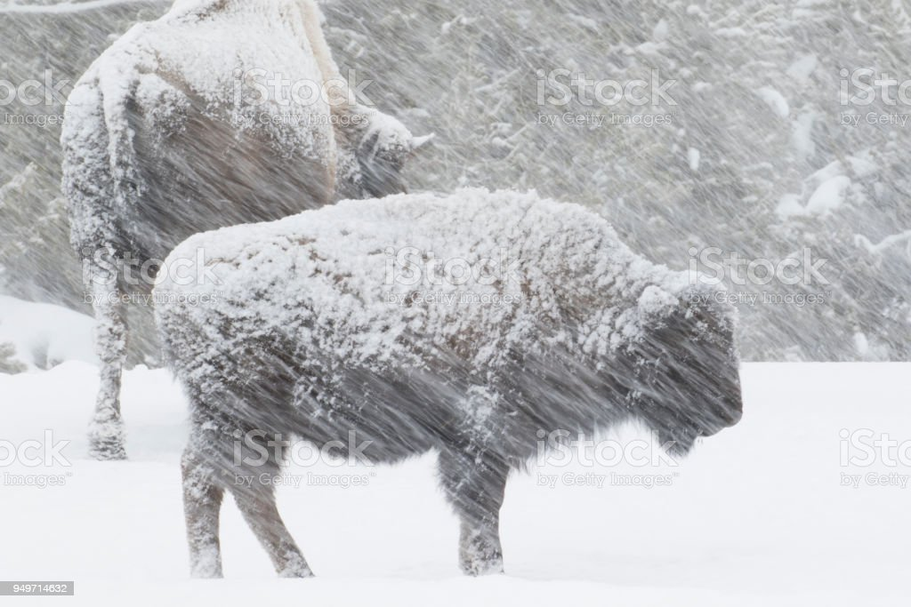 Bison in einem windigen Schneesturm – Foto