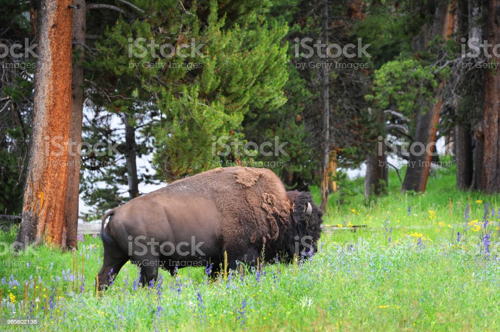 Bison in Field of Flowers - Royalty-free Agricultural Field Stock Photo