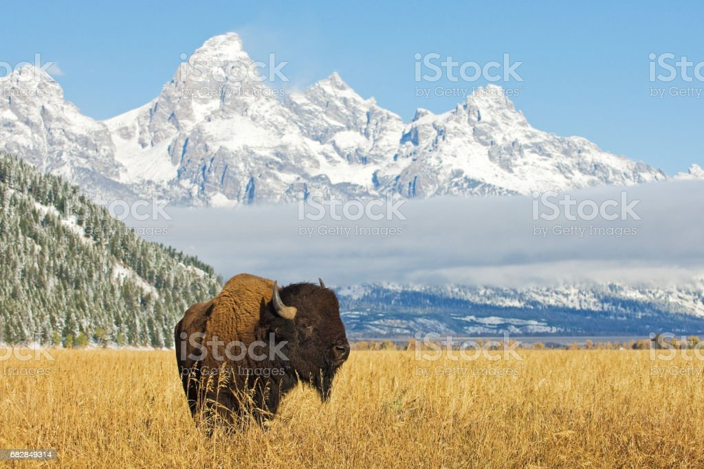 Bison in front of Grand Teton Mountain range – Foto