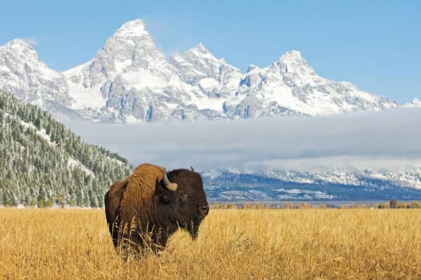 Bison in front of Grand Teton Mountain range bildbanksfoto