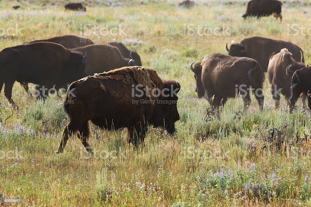 Bison in grasslands royalty-free stock photo
