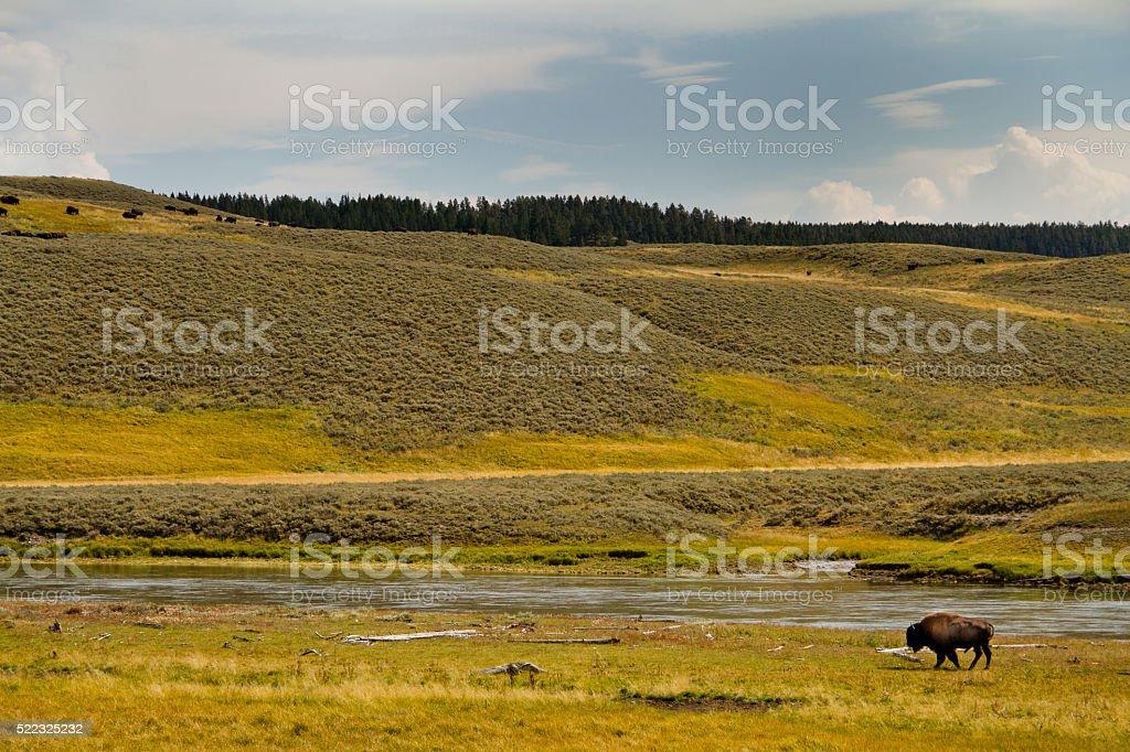 Bison in Hayden Valley II stock photo