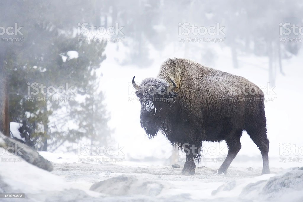 Bison in mist royalty-free stock photo