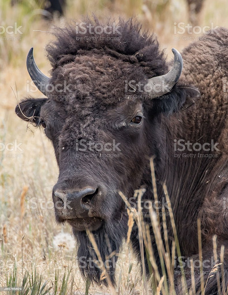 Bison in Montana stock photo