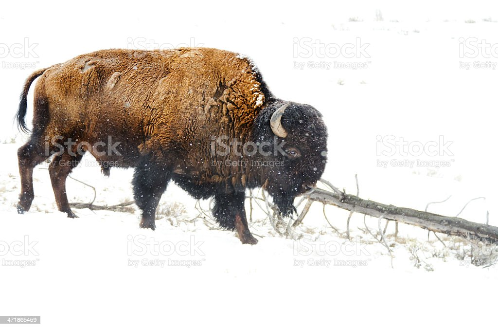 Bison in Snow - Yellowstone National Park royalty-free stock photo