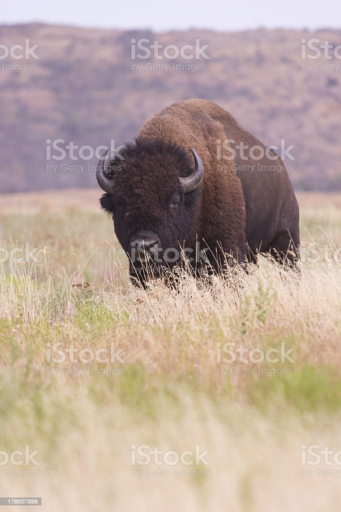 Bison in tall grass royalty-free stock photo