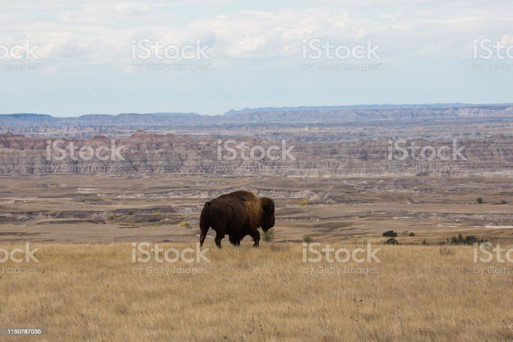 Bison in the Badlands - Royalty-free American Bison Stock Photo