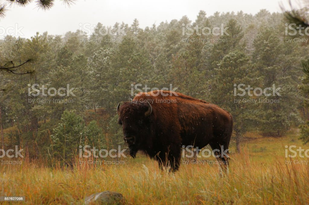 Bison in the early winter snow stock photo