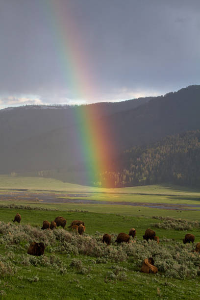 Bison in the Lamar Valley IV stock photo