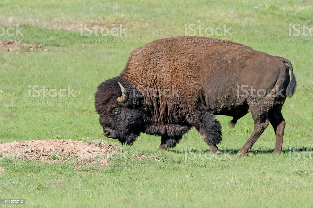 Bison in the Prairie stock photo
